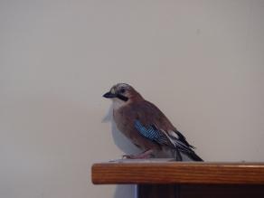 Attila_jay bird_born 2007